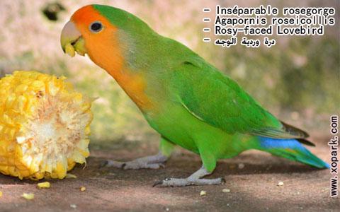 inseparable-rosegorge-agapornis-roseicollis-rosy-faced-lovebird-xopark18