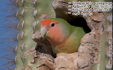 inseparable-rosegorge-agapornis-roseicollis-rosy-faced-lovebird-xopark22