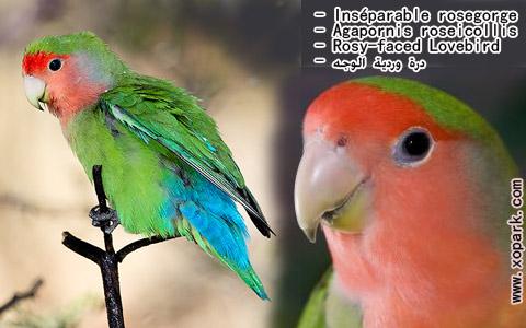 inseparable-rosegorge-agapornis-roseicollis-rosy-faced-lovebird-xopark7