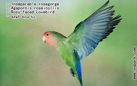 inseparable-rosegorge-agapornis-roseicollis-rosy-faced-lovebird-xopark8