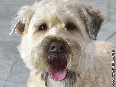 Terrier irlandais à poil doux, Irish Soft Coated Wheaten Terrier, Terrier irlandais à poil doux, Soft-coated Wheaten Terrier Soft Coated, Softcoated, Wheaten or Wheatie