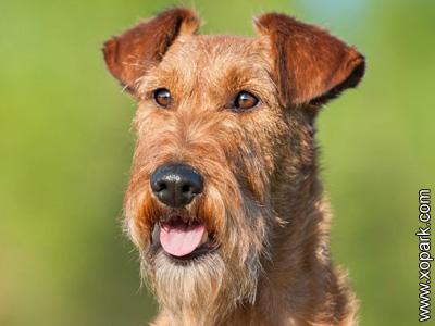 Irish Terrier, Terrier irlandais, Irish Red Terrier