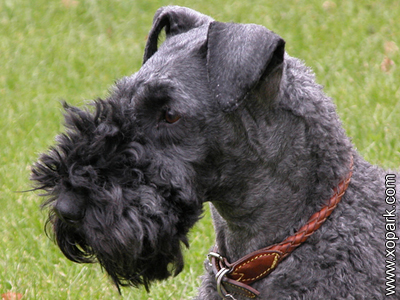 Kerry Blue Terrier - Irish Blue Terrier - Kerry - Terrier Kerry Blue