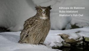 Kétoupa de Blakiston - Bubo blakistoni - Blakiston's Fish Owl