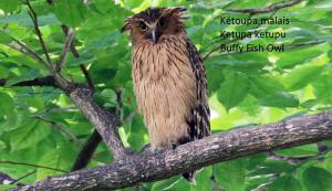 Kétoupa malais - Ketupa ketupu - Buffy Fish Owl
