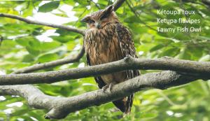 Kétoupa roux - Ketupa flavipes - Tawny Fish Owl