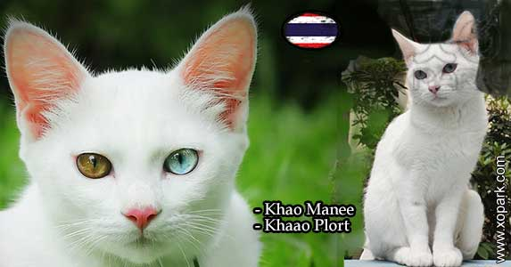 Khao Manee cat, Khao Plort