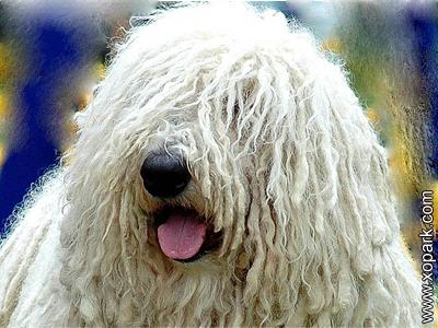 Komondor - Hungarian Komondor - Hungarian Sheepdog - Mop Dog