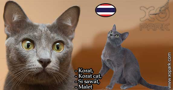 Korat, Korat cat,Si sawat, Malet