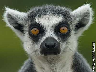 Lémur - Lemur catta - Lémuridés - Lemuridae - Grands lémurs - Primates