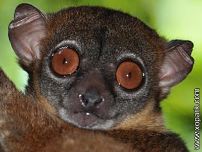 Lépilémur - Sportive lemur - Sportive lemur - Lepilemuridae - Lepilemur