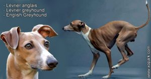 Lévrier anglais - Lévrier greyhound - English Greyhound