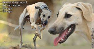 Lévrier arabe, Sloughi, Slougui, Berber Greyhound