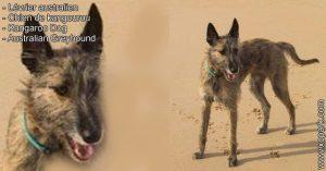 Lévrier australien, chien de kangourou, Kangaroo Dog  Australie