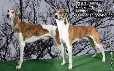 Lévrier hongrois – Magyar Agar – Hungarian agar – Hungarian greyhound – xopark3