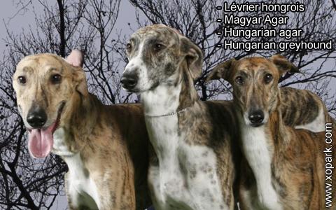Lévrier hongrois – Magyar Agar – Hungarian agar – Hungarian greyhound – xopark4