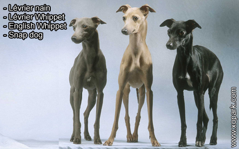 Lévrier nain – Lévrier Whippet – English Whippet – Snap dog – xopark1