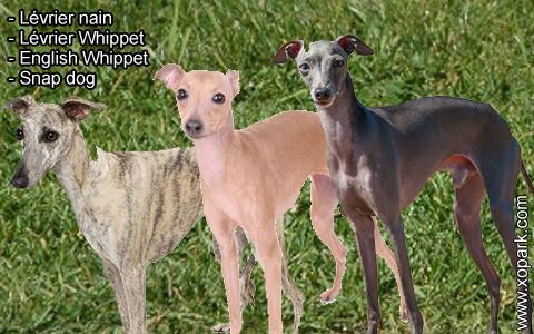 Lévrier nain – Lévrier Whippet – English Whippet – Snap dog – xopark2