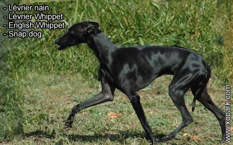 Lévrier nain – Lévrier Whippet – English Whippet – Snap dog – xopark4