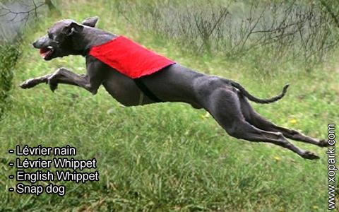 Lévrier nain – Lévrier Whippet – English Whippet – Snap dog – xopark7