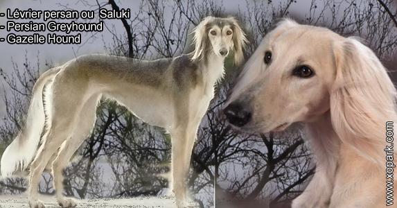 Lévrier persan - Saluki - Persian Greyhound - Gazelle Hound