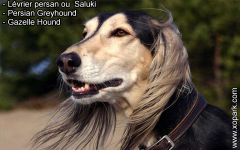 Lévrier persan – Saluki – Persian Greyhound – Gazelle Hound – xopark2