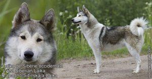 Laïka de Sibérie occidentale - West Siberian Laika - Zapadno-Sibirskaïa Laïka