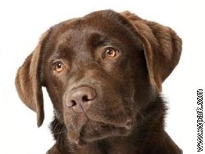 Labrador - Labrador Retriever - Lab - Retriever du Labrador