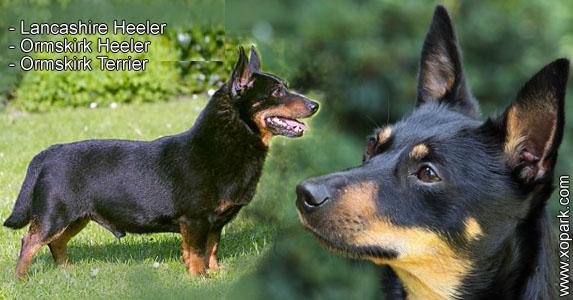 Lancashire Heeler - Ormskirk Heeler - Ormskirk Terrier