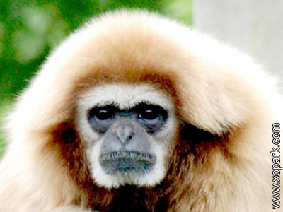 Lar - Hylobates lar - Gibbon lar - Lar gibbon - Hylobatidae - Primates