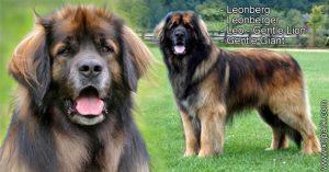 Leonberg - Leonberger - Leo - Gentle Lion - Gentle Giant