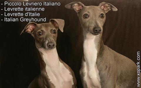 Levrette italienne – Levrette d'Italie – Italian Greyhound – Piccolo Levriero Italiano – xopark1