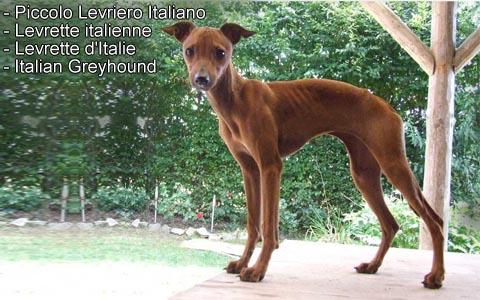 Levrette italienne – Levrette d'Italie – Italian Greyhound – Piccolo Levriero Italiano – xopark2