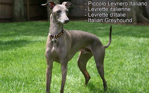 Levrette italienne – Levrette d'Italie – Italian Greyhound – Piccolo Levriero Italiano – xopark3