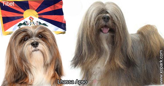 Lhassa Apso