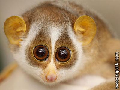 Loris - Nycticebus - Lorisid&s - Lorisidae - Primates
