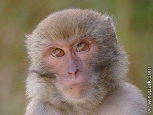 Macaque - Macaca - Macaques - Cercopithecidés - Cercopithecidae
