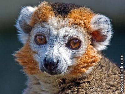 Maki - Eulemur - Lemur - Varecia - Hapalemur - Avahi - Lemuridae
