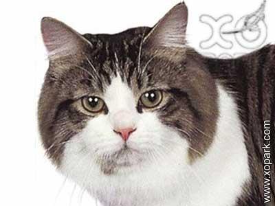 Manx,Manx cat,Manks,Stubbin, rumpy
