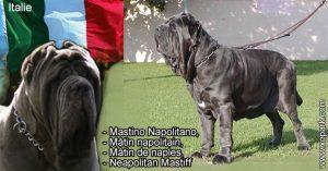 Mastino Napolitano,Mâtin napolitain,Mâtin de naples,Neapolitan Mastiff