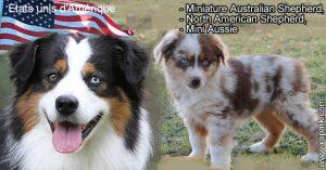Miniature Australian Shepherd,North American Shepherd,Mini Aussie