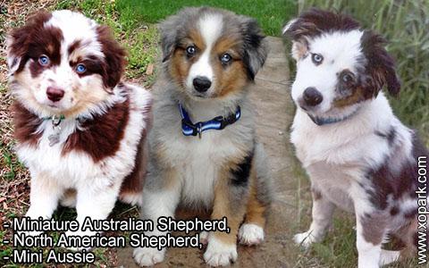Miniature Australian Shepherd –North American Shepherd –Mini Aussie – xopark1