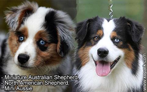 Miniature Australian Shepherd –North American Shepherd –Mini Aussie – xopark2