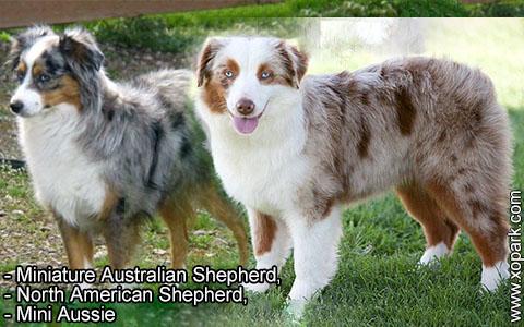 Miniature Australian Shepherd –North American Shepherd –Mini Aussie – xopark3
