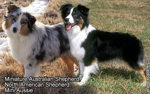 Miniature Australian Shepherd –North American Shepherd –Mini Aussie – xopark5