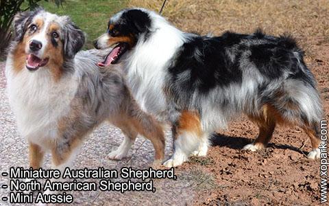 Miniature Australian Shepherd –North American Shepherd –Mini Aussie – xopark6