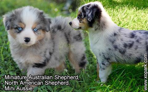 Miniature Australian Shepherd –North American Shepherd –Mini Aussie – xopark8