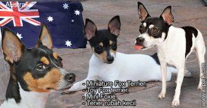 Miniature Fox Terrier,Toy Fox terrier, Mini Foxie,Terier rubah kecil