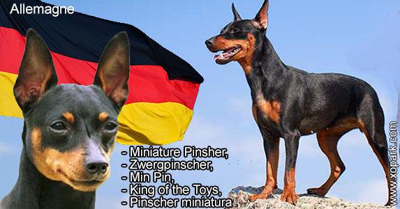 Miniature Pinsher,Zwergpinscher,Min Pin,King of the Toys, Pinscher miniatura