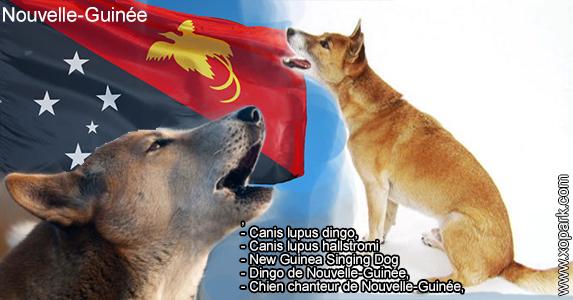 New Guinea Singing Dog,Canis lupus dingo,Chien chanteur de Nouvelle-Guinée,Dingo de Nouvelle-Guinée,Canis lupus hallstromi